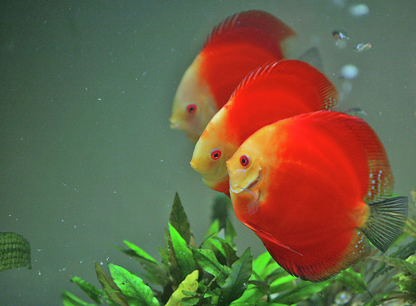 Horizontal Photograph - Red Fish by Vietnam