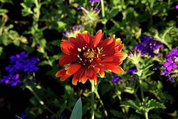 Arkansas Photograph - Red Gaillardia by Douglas Barnett