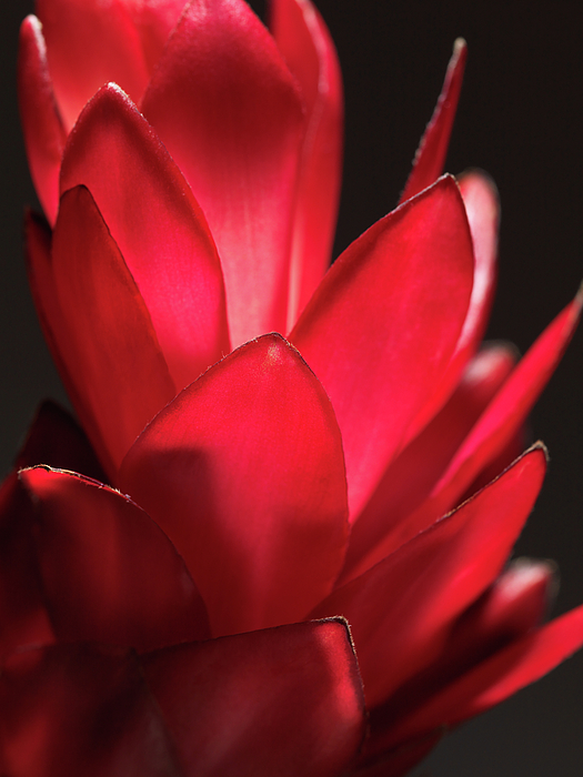 Red Ginger Photograph - Red Ginger Alpinia Purpurata Flower by Oleksiy Maksymenko