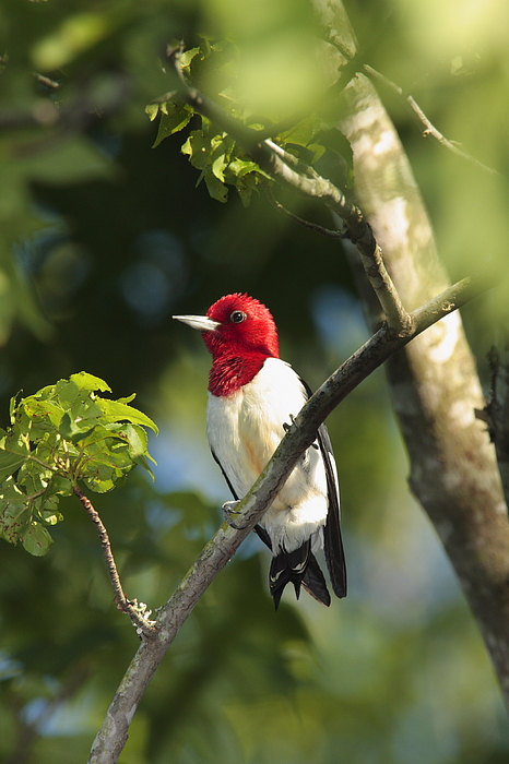 Day Photograph - Red-headed Woodpecker Perched On A Tree by George Grall