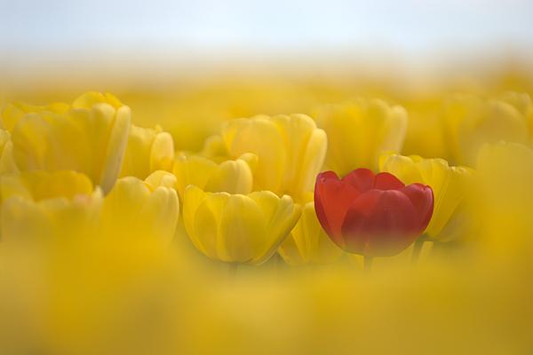 Flower Photograph - Red In Yellow L085 by Yoshiki Nakamura