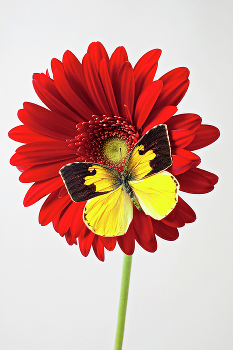 Red Mum Dogface Butterfly Chrysanthemums Photograph - Red Mum With Dogface Butterfly by Garry Gay