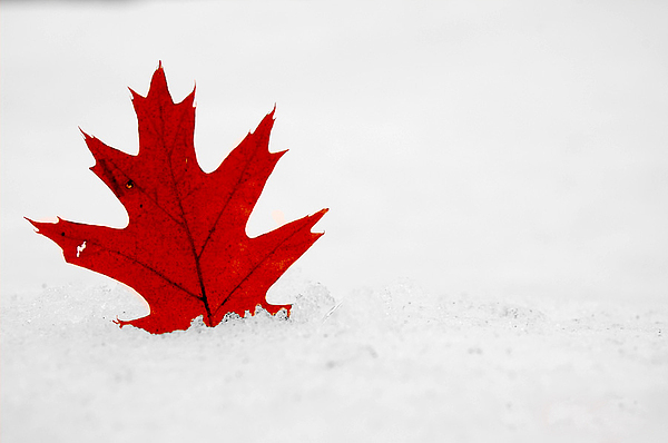 Maple Leaf Photograph - Red On White by Evia Nugrahani Koos