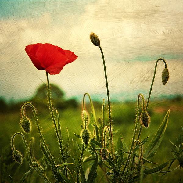 Poppies Art | Fine Art America