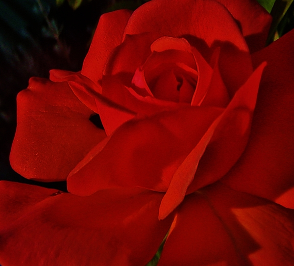 Red Rose Photograph - Red Red Rose  by Daniele Smith