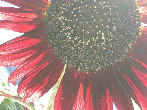 Red Sunflower Photograph - Red Sunflower by Pauline Margarone