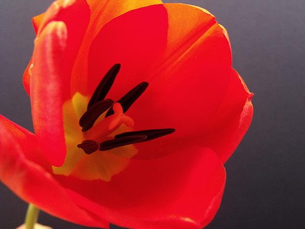 Red Photograph - Red Tulip IIi by Anna Villarreal Garbis