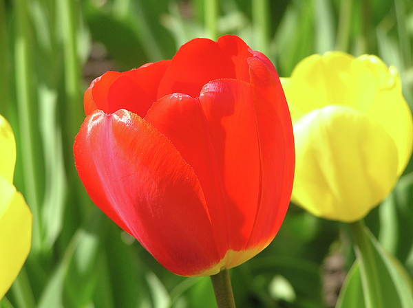 Tulip Photograph - Red Tulip  by Richard Mitchell