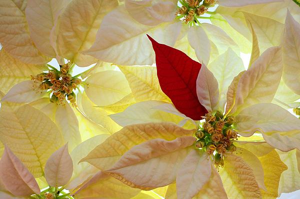 Red Photograph - Red Velvet by Bobby Villapando