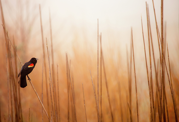 Horizontal Photograph - Red-winged Black Bird In Song by Michael Lawrence Photography