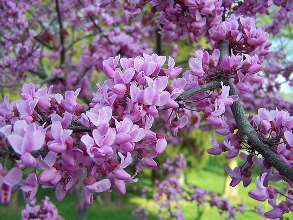 Nature Photograph - Redbud Purple Pansy by Sandy Collier