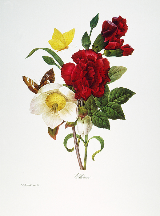 1833 Photograph - Redoute: Hellebore, 1833 by Granger
