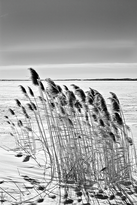 Black And White Photograph - Reeds On A Frozen Lake by Peter Pauer