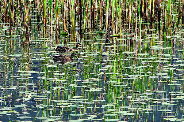 Reflections Photograph - Reflections On Duck Pond by Sharon Talson