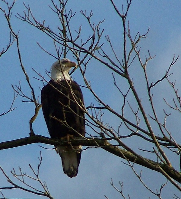 Digital Photography Photograph - Regal Eagle II by Laurie Kidd