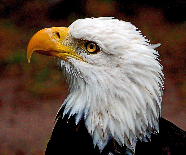 Bald Photograph - Reminiscent Bald Eagle by Donna Proctor