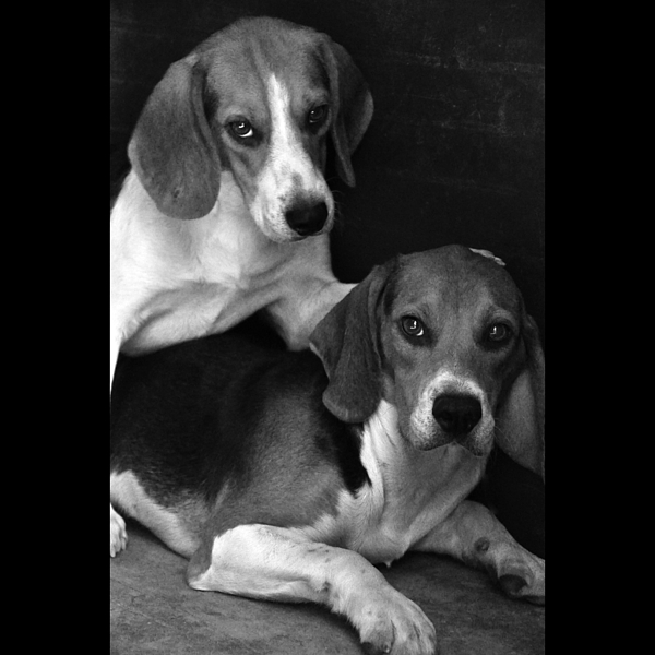 Beagle Photograph - Rescued 1 by Laura Melis