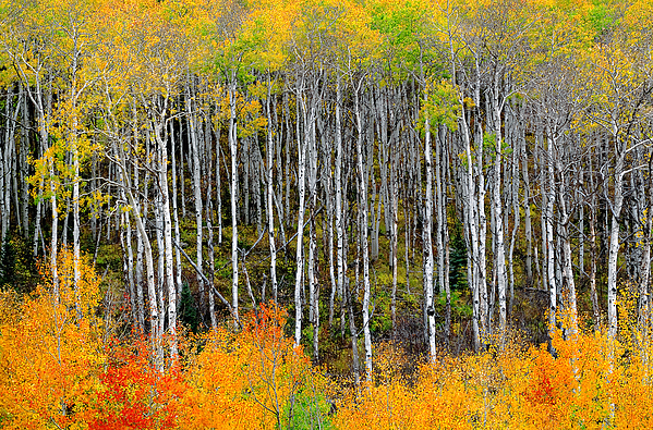 Aspens Photograph - Return To The Aspen Forest by Tim Reaves