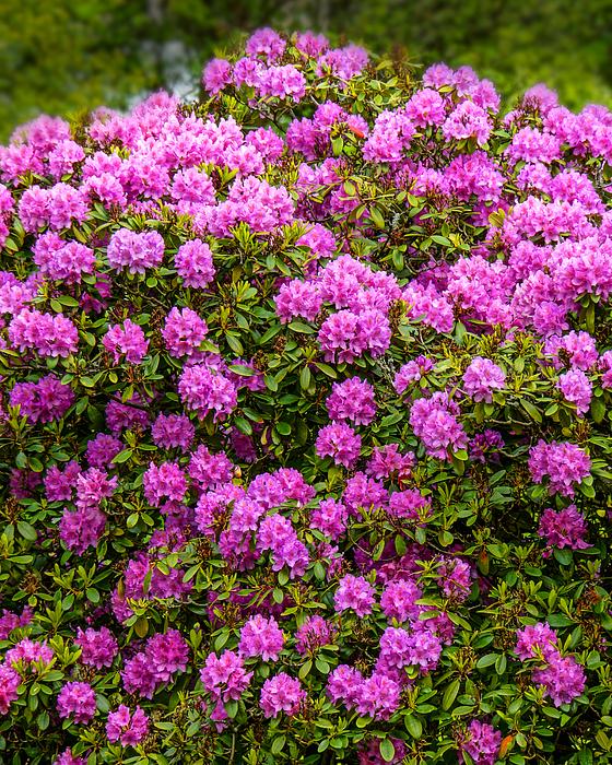 Rhododendron Bush Photograph by Lutz Baar