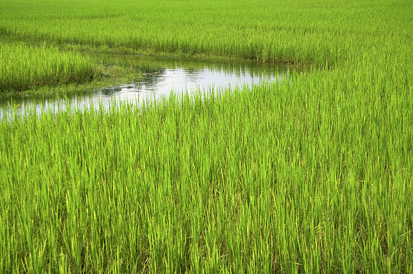 Nature Photograph - Rice Paddy Field In Siem Reap Cambodia by Julia Hiebaum