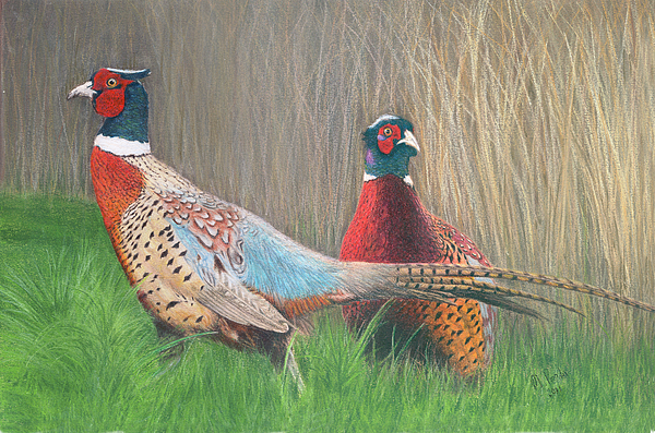 Pheasant Drawing - Ring-necked Pheasants by Marlene Piccolin