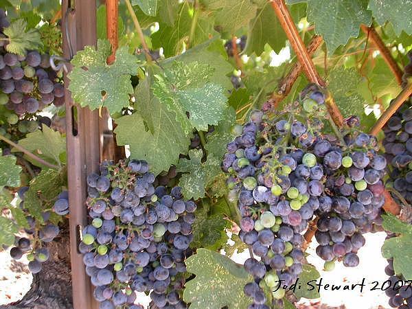 Grapes Photograph - Robert Mondovi Grapes by Jodi Stewart