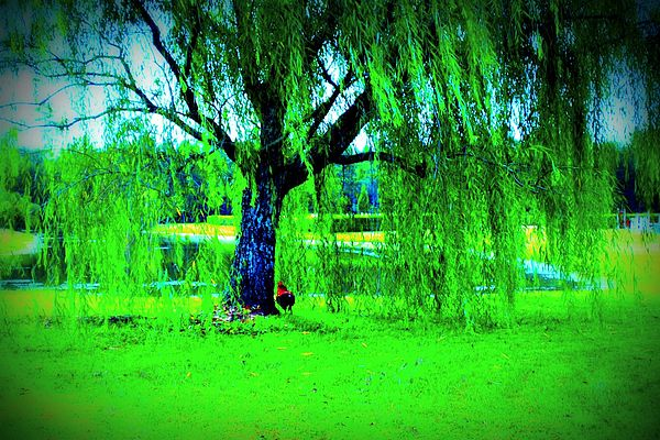Rooster Photograph - Rooster Under The Willow by Jill Tennison