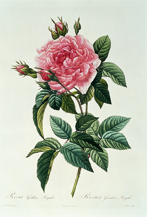 Rosa Drawing - Rosa Gallica Regalis by Pierre Joseph Redoute