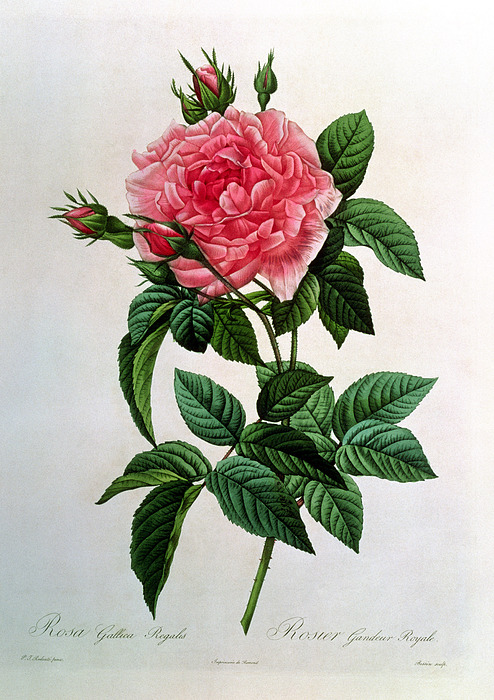Rosa Drawing - Rosa Gallica Regallis by Pierre Joseph Redoute