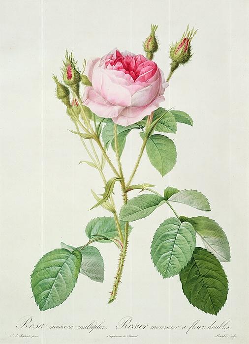 Rosa Drawing - Rosa Muscosa Multiplex by Pierre Joseph Redoute