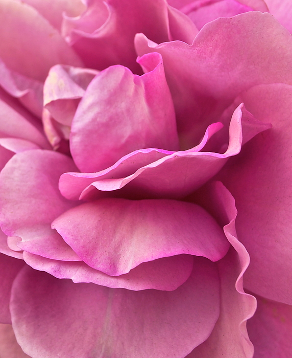Rose Photograph - Rose Affair by Gwyn Newcombe