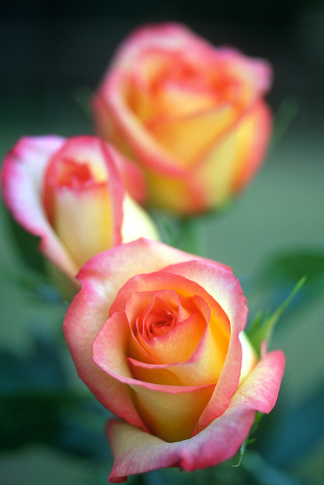 Florals Photograph - Rose Trio by Kathy Yates