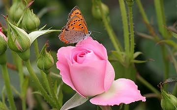 Rose.5715 Photograph by Takuo Hirata