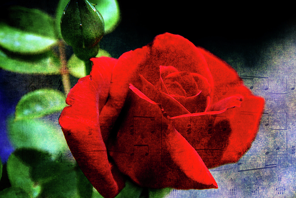 Rose Photograph - Roses Are Red My Love by Susanne Van Hulst