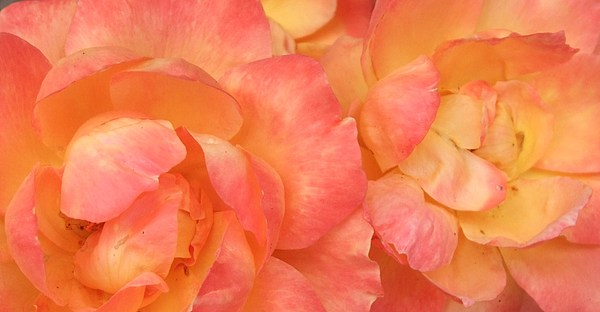 Rose Photograph - Roses Of Friendship by Deborah Brewer
