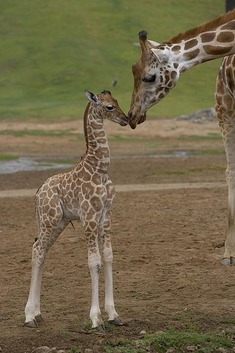 Mp Photograph - Rothschild Giraffe Giraffa by San Diego Zoo