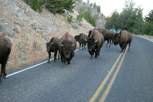Bison Photograph - Rush Hour by Michael Peychich