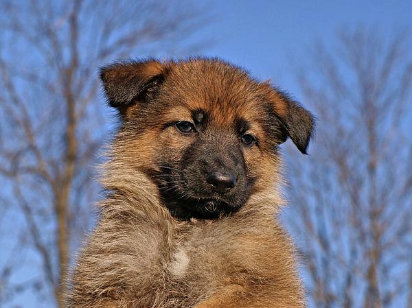 Sable German Shepherd Puppy Ii Photograph By Sandy Keeton