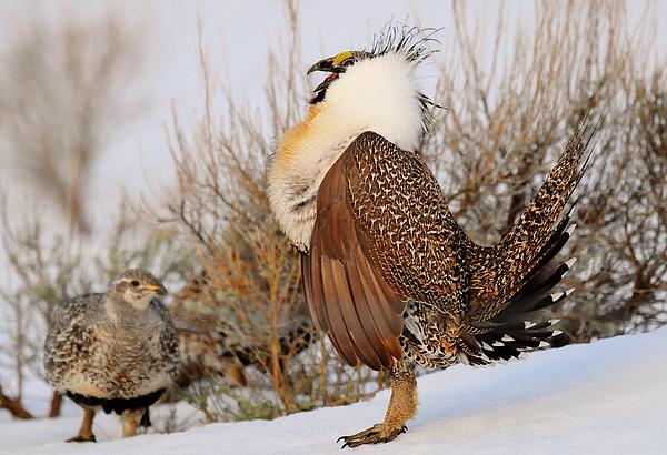 Bird Photograph - Sage Grouse Strut by Dennis Hammer