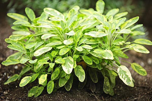 Sage Photograph - Sage Plant by Elena Elisseeva