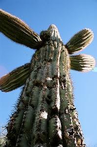 Saguaro Photograph - Saguaro Daddy by Kevin Igo