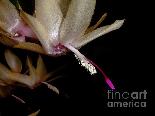 Satin Photograph - Satin Petals by Judy Hall-Folde