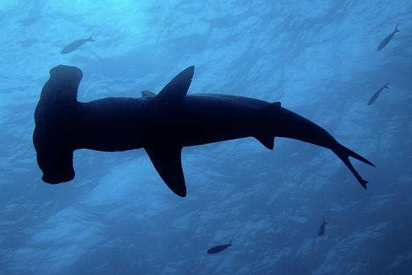 Horizontal Photograph - Scalloped Hammerhead Shark Underwater View by Sami Sarkis