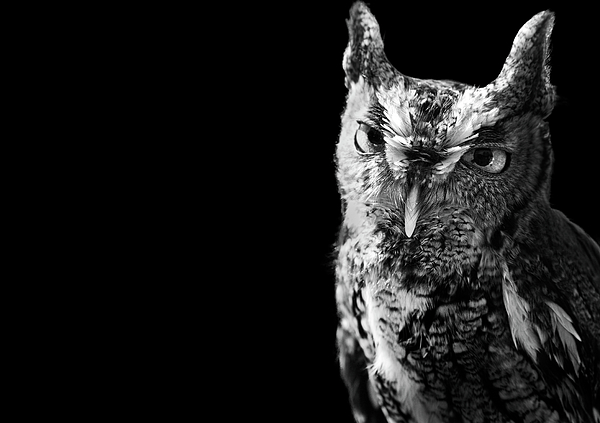 Horizontal Photograph - Screech Owl by Malcolm MacGregor