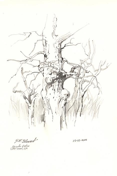 Drawing Drawing - Scrub Oaks In Cottonwood by John Norman Stewart