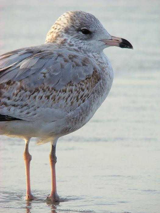 Sea Gull Photograph - Sea Gull by Sherry Vance