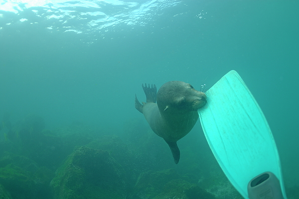 Alertness Photograph - Sea Lion Biting A Diver Flipper by Sami Sarkis
