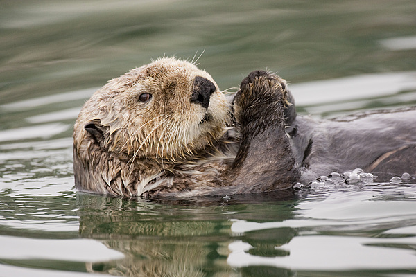 Sea Photograph - Sea Otter Profile by Tim Grams