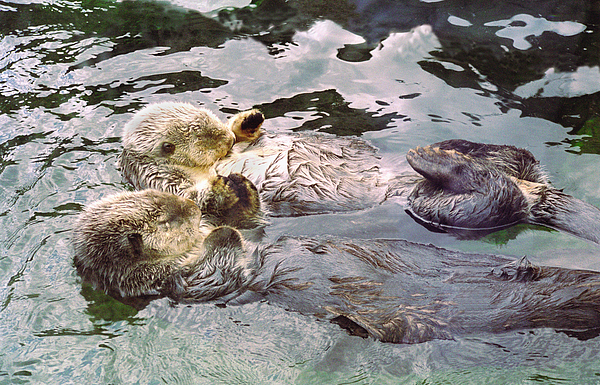 Buffaloworks Photograph - Sea Otters Holding Hands by BuffaloWorks Photography