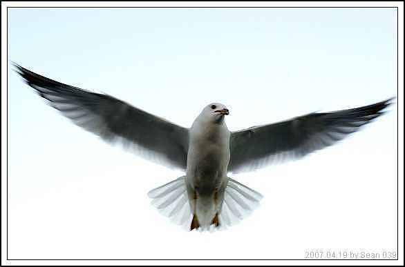 Seagull Photograph - Seagull-5 by Sean Xiao